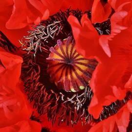 Awakening Poppy by Bruce Bley