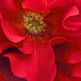Awakening Red Rose Flower by Jennie Marie Schell