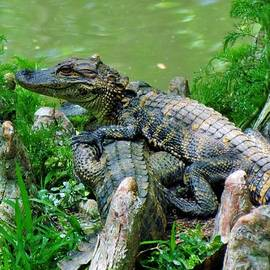 Cynthia Guinn - Baby Alligators