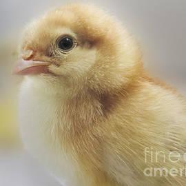 Darleen Stry - Baby chicken