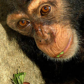 Gary Gingrich Galleries - Baby Chimp-3