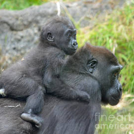 Jim Fitzpatrick - Baby Gorilla Going for a Ride  on Mommys Back