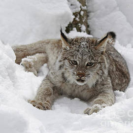 Inspired Nature Photography Fine Art Photography - Baby Lynx on a Lazy Winter Day