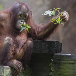 TN Fairey - Baby Orangutan - Houston Zoo