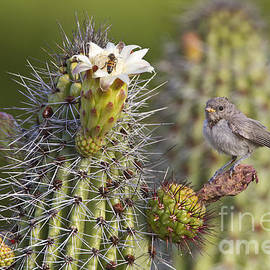 Baby verdin on cactus by Bryan Keil