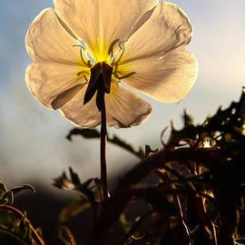 Backlit Evening Primrose by Robert Bales