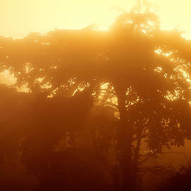 Backlit Tree In Fog by Chris Bordeleau
