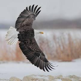 Bald Eagle  by Daniel Behm
