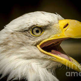 Bald Eagle by Darren Wilkes