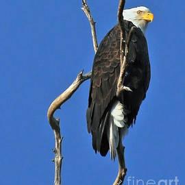 Bald Eagle by Debby Pueschel