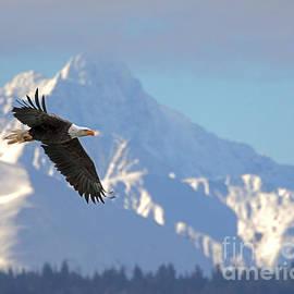 Bald Eagle Flight Alaska by Dale Erickson