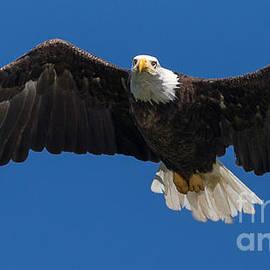Bald Eagle Flying by Joy McAdams