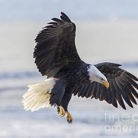 Bald Eagle Landing by Dale Erickson
