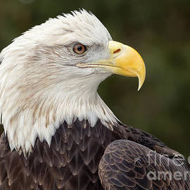 Joshua Clark - Bald Eagle Portrait