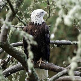 Scott Hill - Bald Eagle