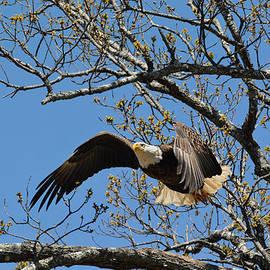 Bald Eagle Take Off by Jai Johnson