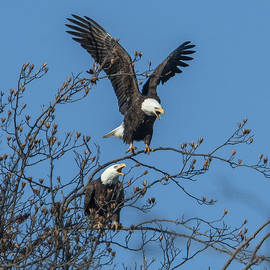 Gerry Gantt - Bald Eagles Screaming DRB169