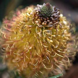 Banksia  by Joy Watson
