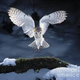Barn Owl Landing by Manfred Danegger