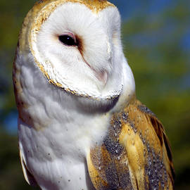 Barn Owl Portrait by Douglas Taylor
