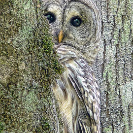 Barred Owl Peek a Boo by Jennie Marie Schell