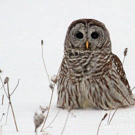 Lloyd Alexander - Barred Owl taking a walk