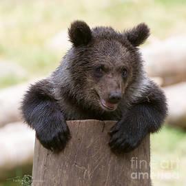 Torbjorn Swenelius - Bear Cub