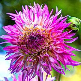 Laura Duhaime - Beautiful Dahlia