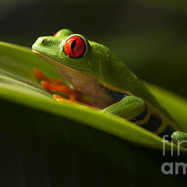 Bob Christopher - Beauty Of Tree Frogs Costa Rica 7
