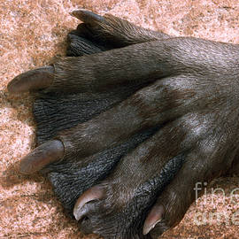 Beavers Hind Foot by V B Scheffer