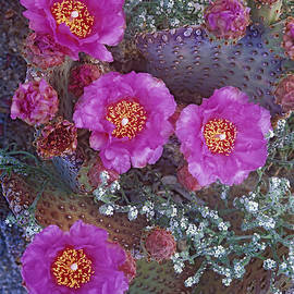 Beavertail Cactus Flowering North by Tim Fitzharris