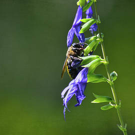 Sandi OReilly - Bee And Purple Flowers