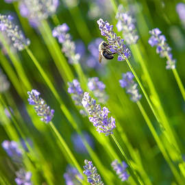 Bee on a Lavender Flower by Diane Diederich