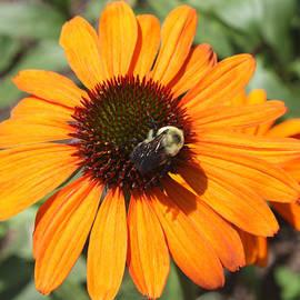 Bee on Flower by John Telfer