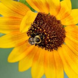 Karen  Majkrzak - Bee on Sunflower