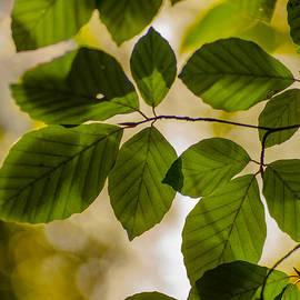 Jan Bickerton - Beech Leaves and Bokeh
