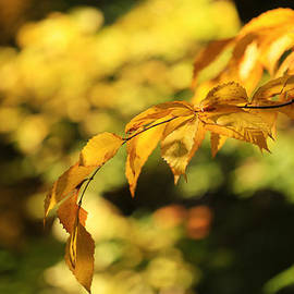 Beech Leaves of Gold by Rachel Cohen