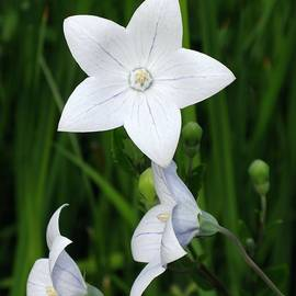 Bellflower - Campanula carpatica by Ann Horn