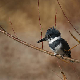 Ernie Echols - Belted Kingfisher