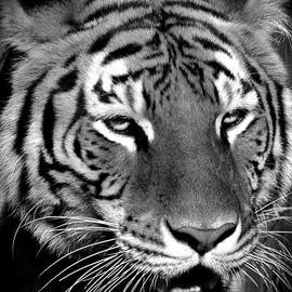 Bengal Tiger in Black and White by Venetia Featherstone-Witty