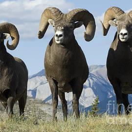 Bob Christopher - Big Horn Sheep
