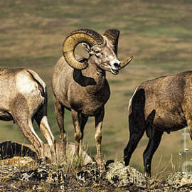 Bighorn Ram Calling His Friends by Priscilla Burgers