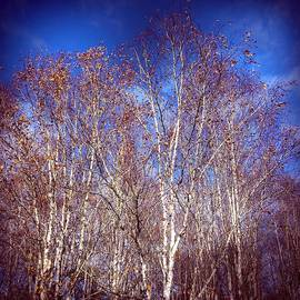 Birch trees and blue sky in autumn