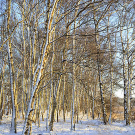 Birch trees in the snow by Patricia Hofmeester
