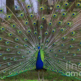 Peacock Strut by Luther Fine Art