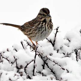 Bird On A Snowy Bush  by Lydia Holly