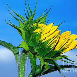 Birth of a Sunflower by Kaye Menner