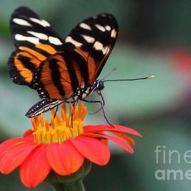 Black And Brown Butterfly On A Red Flower by Jeremy Hayden