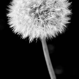 Jill Mitchell - Black And White Dandelion Seed Head With Stem