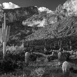 Black and white desert cactus at Picacho Peak by Dave Dilli